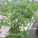 水耕装置空芯菜
