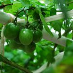 天空トマト